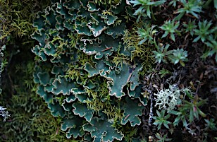Factors shaping lichen networks